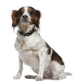 Mixed breed dog, 3 years old, sitting in front of white background — Stock Photo