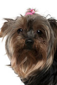 Close-up of Yorkshire Terrier, 8 years old, in front of white background — Fotografia Stock