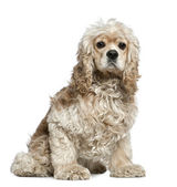 American Cocker Spaniel, 3 years old, sitting in front of white background — Stock Photo