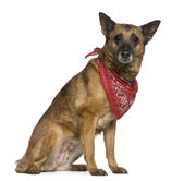 Mixed-breed dog wearing handkerchief, 14 years old, sitting in front of white background — Stock Photo