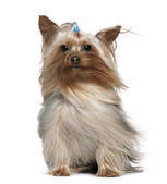 Yorkshire terrier with hair in the wind, 1 and a half years old, sitting in front of white background — Stock Photo