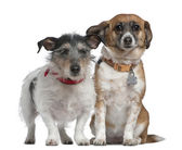 Jack Russell Terrier and Mixed-breed dog, 7 years old and 8 years old, in front of white background — Stock Photo