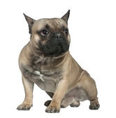 French bulldog, 1 and a half years old, sitting in front of white background — Stock Photo