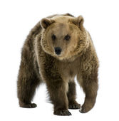 Brown Bear, 8 years old, walking in front of white background — Stock Photo