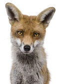 Red Fox, 1 year old, standing in front of white background — Stock Photo