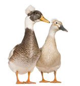 Male and female Crested Ducks, 3 years old, standing in front of white background — Stock Photo