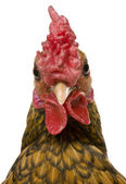 Close-up of Golden Sebright rooster, 1 year old, in front of white background — Stock Photo