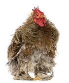 Curly feathered rooster Pekin, 1 years old, standing in front of white background — Stock Photo