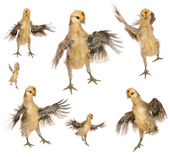 Collection of chicks trying to fly in front of white background — Stock Photo