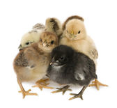 Four chicks in front of white background — Stock Photo