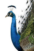 Profile of Male Indian Peafowl in front of white background — Stock Photo