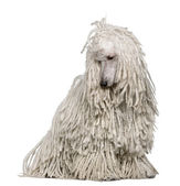 White Corded standard Poodle sitting in front of white background — Stock Photo