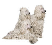 Three White Corded standard Poodles in front of white background — Stock Photo