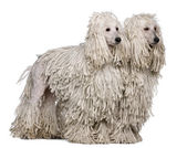 Two White Corded standard Poodles sitting in front of white background — Stock Photo