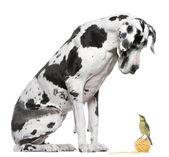 Dogue allemand arlequin assis en face de fond blanc, en regardant un oiseau mésange bleue — Photo