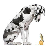 Great Dane Harlequin sitting in front of white background looking at a Blue Tit bird — Photo