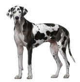 Great Dane, 5 Years old, standing in front of white background — Stock Photo