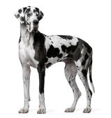 Great Dane Harlequin, 4 years old, standing in front of white background — Stock Photo