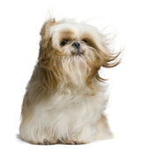 Shih Tzu, 18 months old, windswept and sitting against white background — Stock Photo