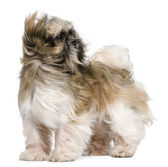 Shih Tzu, 1 year old, standing in front of white background — Stock Photo