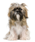 Shih Tzu, 1 year old, sitting against white background — Stock Photo