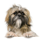 Shih Tzu, 1 year old, sitting against white background — Stock fotografie