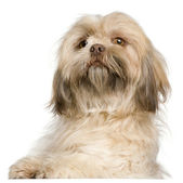 Close-up of Shih Tzu, 3 years old, in front of white background — Stock Photo