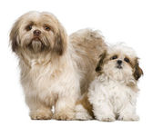 Mother Shih Tzu and her puppy, 3 years old and 3 months old, against white background — Stock Photo