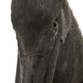 Close-up headshot of young pink-backed pelican, 2 months old, standing in front of white background — Stock Photo