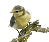 Blue Tit, 23 days old, perching on branch against white background — Stock Photo