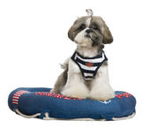 Shih Tzu, 18 months old, standing in lifebelt in front of white background — Stock Photo