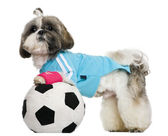 Shih Tzu, 18 months, dressed with soccer ball, in front of white background — Stock Photo