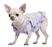 Chihuahua, 3 years old, dressed in purple with pearl necklace, in front of white background — Stock Photo