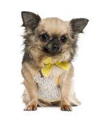 奇瓦瓦州,4 岁,身穿黄色弓在白色背景前 — 图库照片