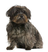 Mixed-breed, 10 years old, in front of white background — Stock Photo