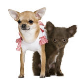 2 chihuahuas 15 months and a puppy 5 months, in front of white background — Stock Photo