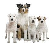 Group of parson russel terriers and an Australian shepherd, in front of white background — Stock Photo