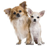 Two chihuahuas, 3 years old and puppy of 5 months, in front of white background — Stock Photo