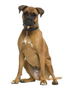 Boxer, 3 years old, in front of white background — Stock Photo