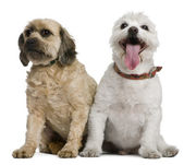 Two mixed-breeds, 4 and 16 years old, in front of white background — Stock Photo