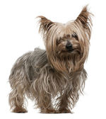Yorkshire Terrier, 10 years old, standing in front of white background — Stock Photo