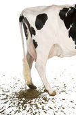 Holstein cow, 5 years old, defecating against white background — Stock Photo
