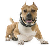 American Staffordshire Terrier, 5 years old, lying in front of white background — Stock Photo