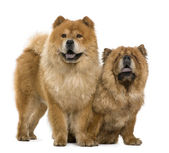 Chow chow, 5 and 6 years old, standing in front of white background — Stock Photo
