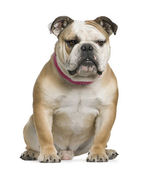 English bulldog, 11 months old, sitting in front of white background — Stock Photo
