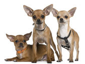 Chihuahua, 12 months, 12 months and 6 months old, standing and lying in front of white background — Stock Photo