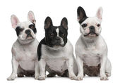 Group of French Bulldogs sitting in front of white background — Stockfoto
