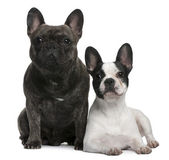 French Bulldogs sitting and standing in front of white background — Stock Photo