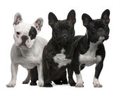 French Bulldogs, 11 months old, 3 and 6 years old, sitting and s — Stock Photo
