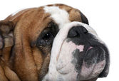 Close-up of English Bulldog — Stock Photo